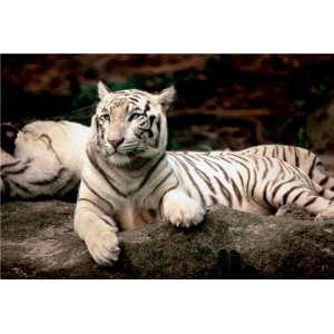 Puzzle 1500 Tigre de Bengala